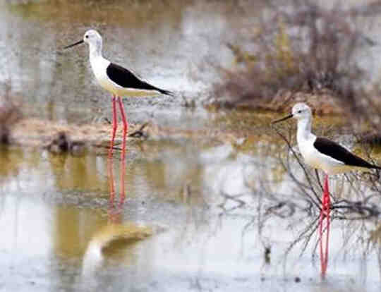 Bird Watching at Wasit Bird Reserve @ Sharjah